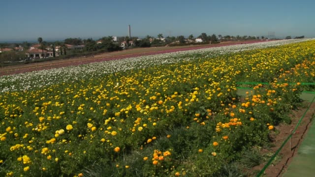 the flower fields in carlsbad, california, are in bloom for approximately six to eight weeks each year - from early march through early may. the... - carlsbad california stock videos & royalty-free footage