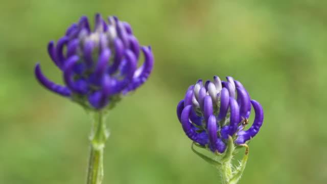 'the flower of sussex', round-headed rampion (phyteuma orbiculare), south downs - サウスダウンズ点の映像素材/bロール