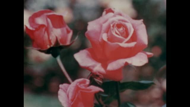 vídeos y material grabado en eventos de stock de 1947 the flowers and trees of los angeles - rosa flor