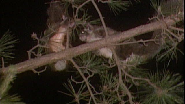 the flying squirrel copulates when the breeding period starts. - mammal stock videos & royalty-free footage