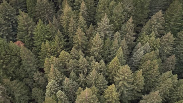 the forest of sequoias in northern california, usa west coast - sequoia stock videos & royalty-free footage
