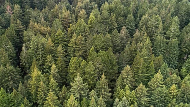 the forest of sequoias in northern california, usa west coast - redwood forest stock videos and b-roll footage