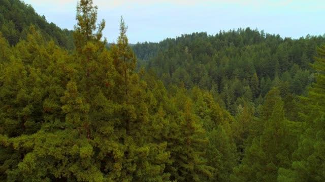 vídeos de stock, filmes e b-roll de a floresta de sequoias no norte da califórnia, eua costa oeste - sequoia sempervirens