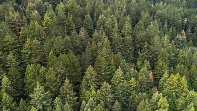 der wald von sequoias in nordkalifornien, usa westküste - nordkalifornien stock-videos und b-roll-filmmaterial