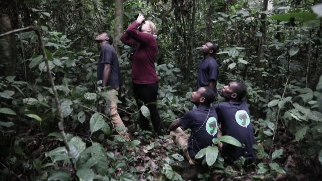 the forests of the dzanga-sangha national park, in the extreme southwest of the central african republic, are the last sanctuary for the endangered... - pangolino video stock e b–roll