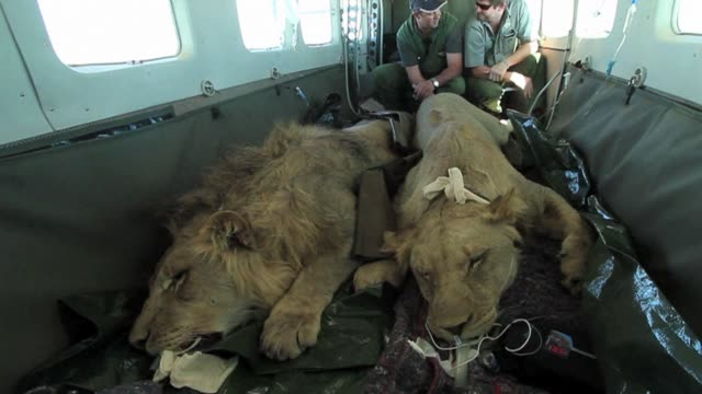 the foundation african parks helps transport lions from an crowded game reserve in south africa to one in neighbouring malawi in effort to restart... - malawi stock videos & royalty-free footage