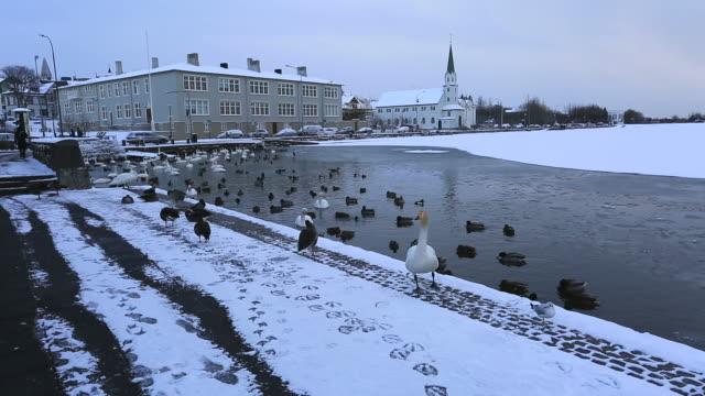 the frozen tjornin lake, reykjavik, iceland, - ente wasservogel stock-videos und b-roll-filmmaterial