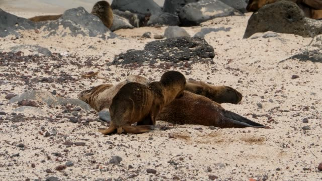 stockvideo's en b-roll-footage met the galapagos baby sea lion driven out by the mother in galapagos islands - kleine groep dieren