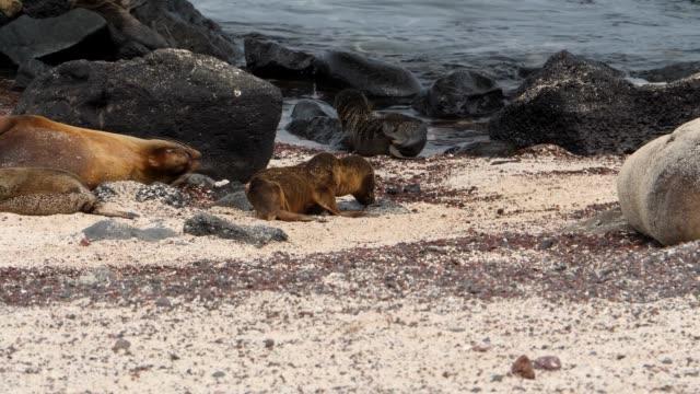 stockvideo's en b-roll-footage met the galapagos baby sea lion kicked out in galapagos islands - kleine groep dieren