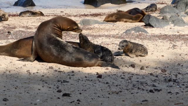vidéos et rushes de the galapagos baby sea lion playing with its mother in galapagos islands - lion de mer
