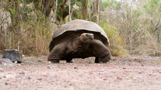 The Galapagos Giant Tortoise moving slowly in Galapagos Islands