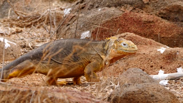 The Galapagos Land Iguana crawling in Galapagos Islands