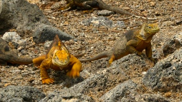 vídeos y material grabado en eventos de stock de the galapagos land iguana crawling in galapagos islands - iguana de los galápagos