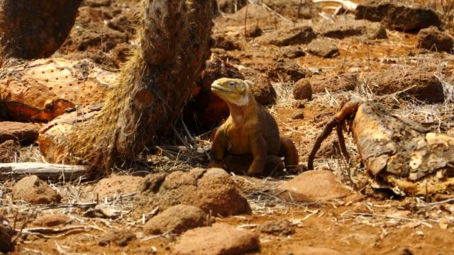 the galapagos land iguana crawling in galapagos islands - galapagos land iguana stock videos & royalty-free footage