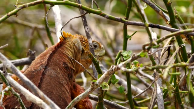 the galapagos land iguana eating leaves in galapagos islands - galapagos land iguana stock videos & royalty-free footage