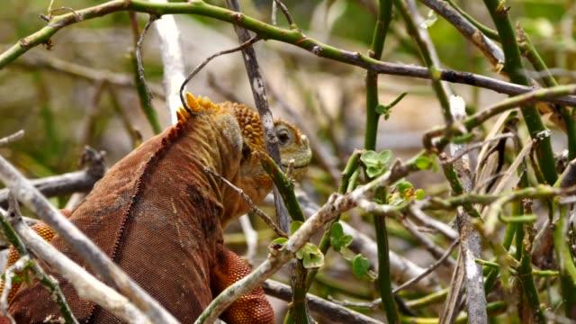 vídeos y material grabado en eventos de stock de the galapagos land iguana eating leaves in galapagos islands - iguana de los galápagos