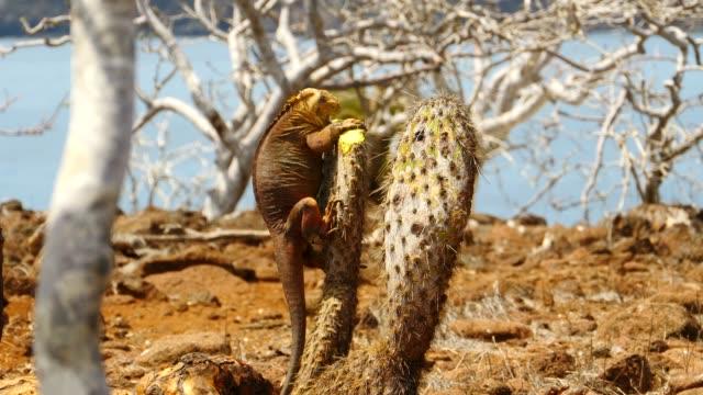 vídeos y material grabado en eventos de stock de the galapagos land iguana eating the cactus in galapagos islands - iguana de los galápagos