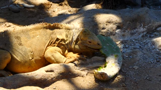 The Galapagos Land Iguana eating the cactus leaf in Galapagos Islands