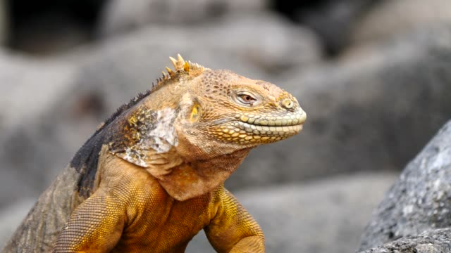 The Galapagos Land Iguana in Galapagos Islands