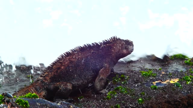 the galapagos land iguana on the rock in galapagos islands - galapagos land iguana stock videos & royalty-free footage