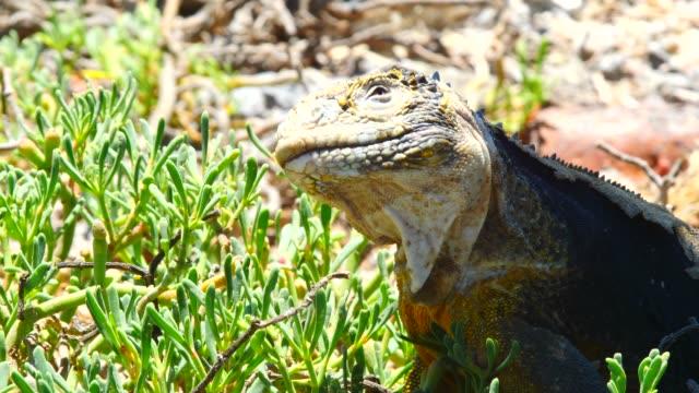 vídeos y material grabado en eventos de stock de the galapagos land iguana shaking his head in galapagos islands - iguana de los galápagos