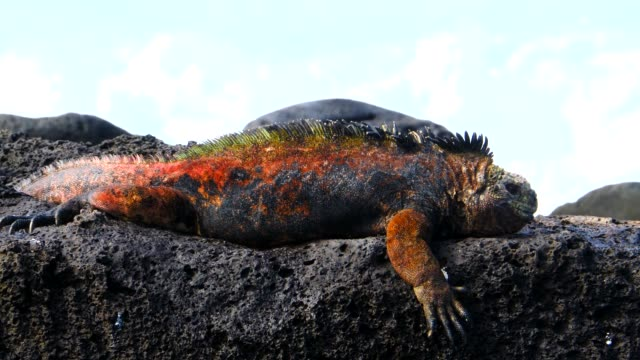 the galapagos land iguana shaking his head on the rock in galapagos islands - galapagos land iguana stock videos & royalty-free footage