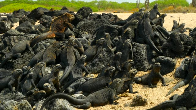 The Galapagos Land Iguanas control their body temperature on the sand in Galapagos Islands