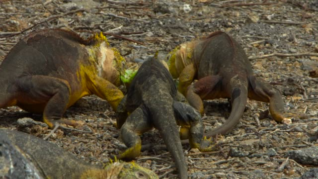 the galapagos land iguanas eating the cactus leaf in galapagos islands - cactus stock videos & royalty-free footage