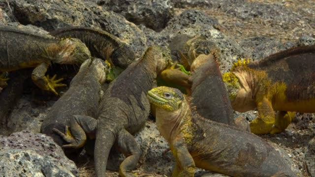 the galapagos land iguanas eating the cactus leaf in galapagos islands - cactus点の映像素材/bロール