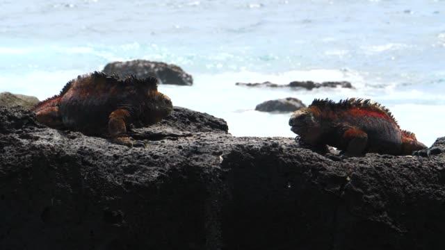 vídeos y material grabado en eventos de stock de the galapagos land iguanas fighting on the rock in galapagos islands - iguana de los galápagos