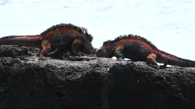 the galapagos land iguanas fighting on the rock in galapagos islands - galapagosinseln stock-videos und b-roll-filmmaterial