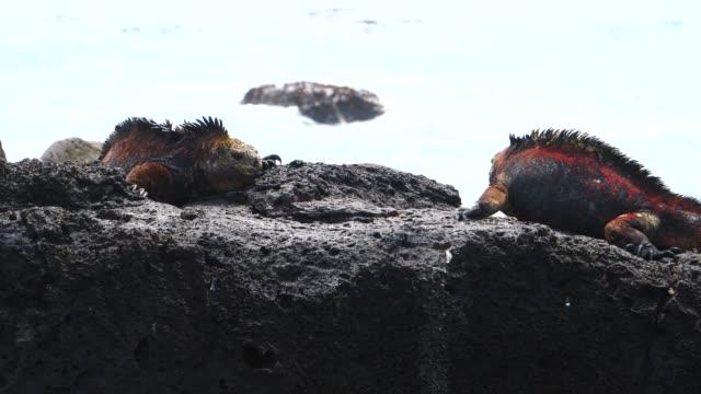 the galapagos land iguanas fighting on the rock in galapagos islands - ガラパゴスリクイグアナ点の映像素材/bロール