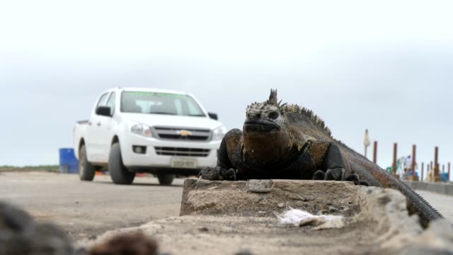 the galapagos marine iguana and car on the street in galapagos islands - galapagosinseln stock-videos und b-roll-filmmaterial