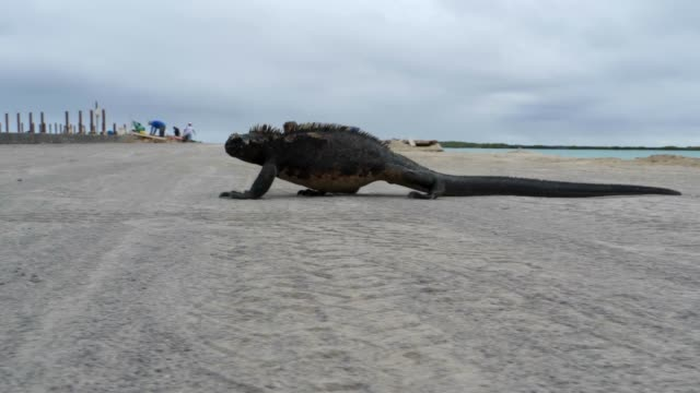 vidéos et rushes de the galapagos marine iguana crossing on the road in galapagos islands - animals in the wild