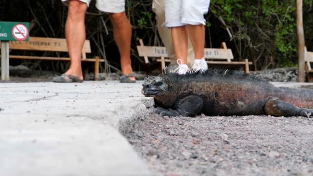 the galapagos marine iguana sleeping on the street in galapagos islands - ガラパゴスリクイグアナ点の映像素材/bロール