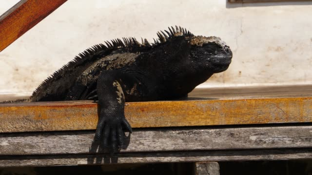 the galapagos marine iguana taking a break on the bench in galapagos islands - とげのある点の映像素材/bロール