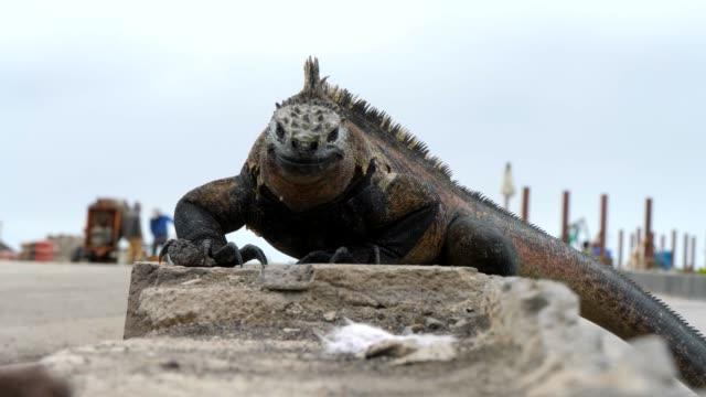 the galapagos marine iguana threatening the face on the street in galapagos islands - ガラパゴスリクイグアナ点の映像素材/bロール