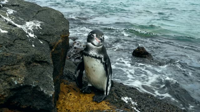the galapagos penguin hovering around a rock in galapagos islands - galapagos islands stock videos & royalty-free footage