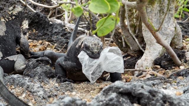 the galapagos sea iguana trying to eat the plastic bag in galapagos islands - ガラパゴスリクイグアナ点の映像素材/bロール