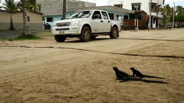 the galapagos sea iguanas waiting for cars to pass through in galapagos islands - ガラパゴスリクイグアナ点の映像素材/bロール