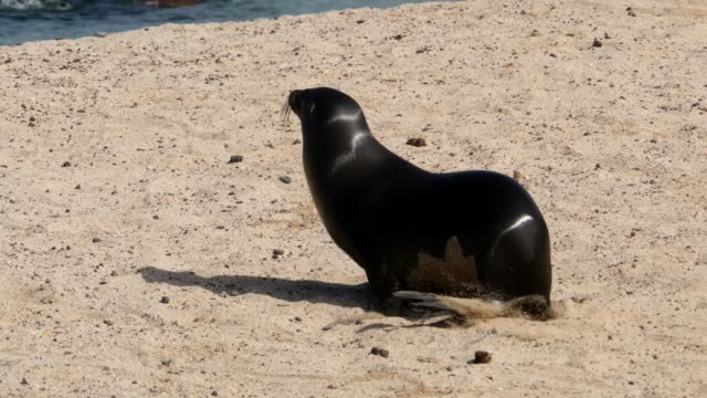 the galapagos sea lion approaching the dead baby sea lion in the galapagos islands - sea lion stock videos & royalty-free footage