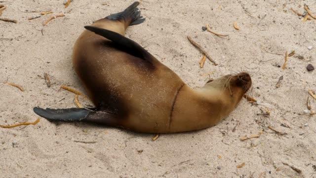 vídeos y material grabado en eventos de stock de the galapagos sea lion injured in the trash thrown by people in galapagos islands - cuello de animal