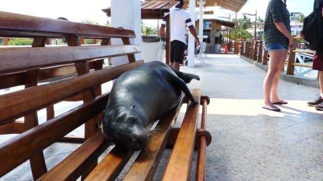 vídeos de stock, filmes e b-roll de the galapagos sea lion resting on the bench in galapagos islands - bigode de animal