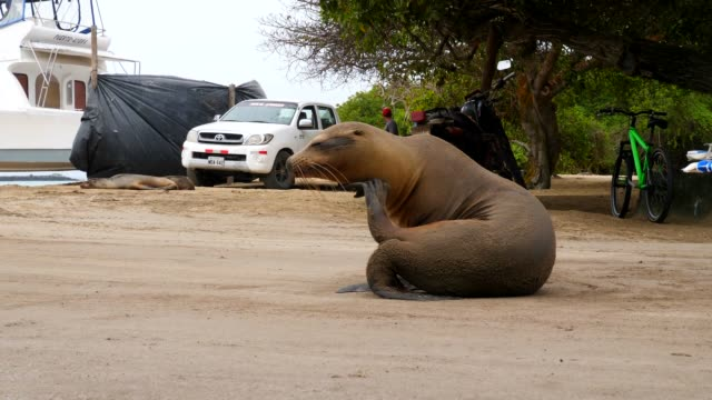 the galapagos sea lion scratching his throat on the street in galapagos islands - aquatic mammal stock videos & royalty-free footage