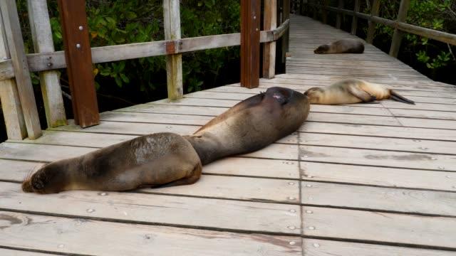 stockvideo's en b-roll-footage met the galapagos sea lions playing on the bridge in galapagos islands - kleine groep dieren
