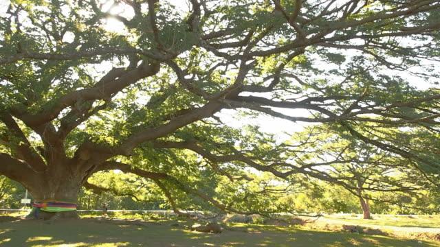 Giant Monkey Pod trädet