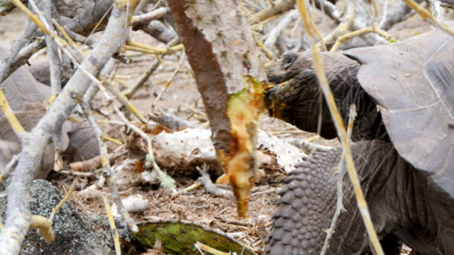 the giant tortoise eating cactus in galapagos islands - cactus点の映像素材/bロール
