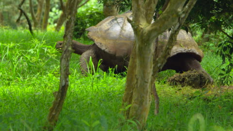 the giant tortoise moving forest in santa cruz island, galapagos - galapagos islands stock videos & royalty-free footage