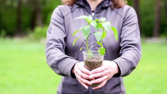 vídeos de stock e filmes b-roll de a rapariga dá planta de pimentos no recipiente de plástico. - pimenta do reino