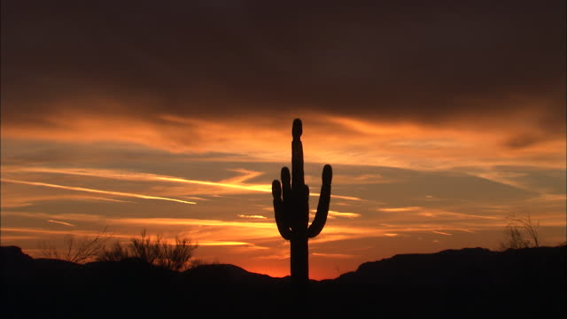the glowing sky silhouettes a tall desert cactus. - cactus silhouette stock videos & royalty-free footage